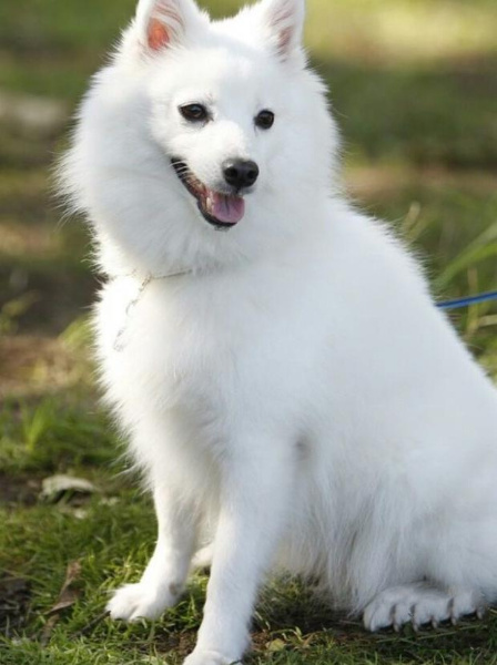 Young Japanese Spitz